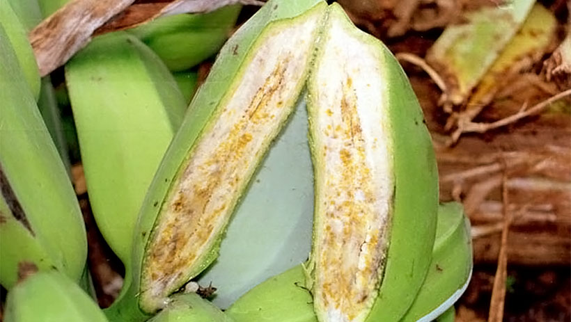 Scientists' breakthrough brings hope for banana resistance breeding to deadly bacterial wilt disease